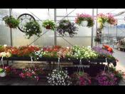 Zahradnictví, prodej balkonových rostlin, zeminy, květináčů Brno, Modřice