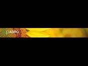 Hybridy slunečnice Kněževes - dodávka kvalitních polních plodin (osiv)