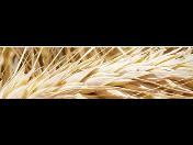 Pšenice, ječmen, žito a tritikále k osevu Kněževes - prodej semen a pesticidů