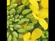 Semena řepky Kněževes, pro pěstitele i zemědělce - prodej i pesticidů na jejich ochranu