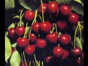 Ovocné stromy - zahradnictví, prodej, třešeň, jabloň, maliny, švestka