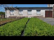 Pěstování lesních sazenice prostokořenných - prodej do lesních školek