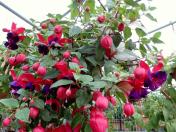 Prodejní výstava fuchsií, pelargonií a surfinií s prohlídkou bylinkové zahrady