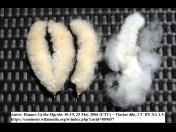 Rostlinné hedvábí Kapok - do zdravotních polštářů a přikrývek, vhodné pro alergiky