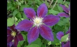 Popínavé rostliny do menších zahrádek