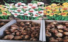 Cibuloviny květin - prodej Zelená zahrada Znojmo