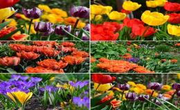 Jarní cibuloviny okrasných květin Znojmo
