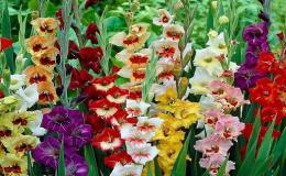 jiřiny, gladioly, mečíky, krokusy, tulipány, lilie, sněženky, narcisy - cibule okrasných květin