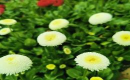Prodej jarních cibulovin okrasných květin -  narcisy, begonie Znojmo, pivoňky, dosny