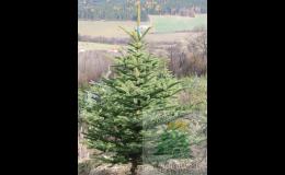 Smrk pichlavý na zdobení na Dušičky a Vánoce