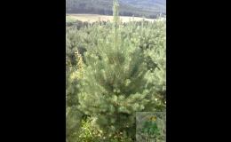 František Valdman-Vánoční stromky a balící sítě