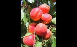 Meruňky ovocné stromky