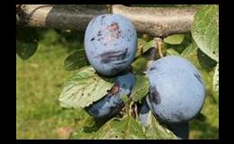 prodej ovocných stromků Brno