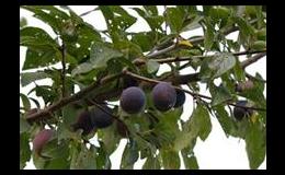 prodej vlastní produkce ovocných stromků v Želešicích u Brna