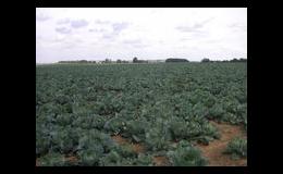 Pěstování zelí