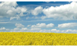 Zemědělské komodity Praha západ - řepka, kukuřice