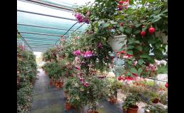 Zahradnictví Petro - Fuchsie skleník