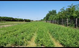 Lesní sazenice prostokořenné Vsetín - pěstování, prodej