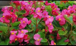Prodej balkónových květin Vsetín, Valašské Meziříčí