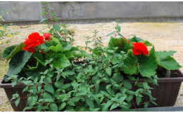Osazování truhlíků balkónovými květinami Vsetín, Valašské Meziříčí
