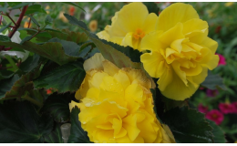 Balkónové květiny Vsetín, Valašské Meziříčí