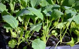 Saláty k výsadbě Opava