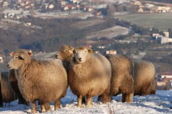 Chov ovc� Romney, Ekofarma L�pa Radek Langer