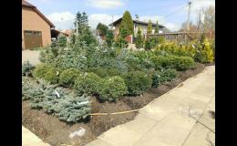 Jehličnaté vzrůstné keře a stromy