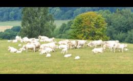 Chov skotu a prasat, produkce mléka