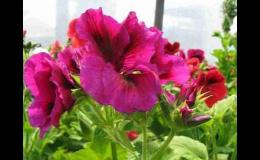 Zahradnictví - balkónové květiny, letničky