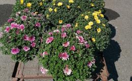 Široký výběr hrnkových květin