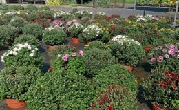 Hrnkové, řezané květiny pro realizaci zahrad