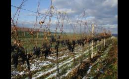 Vinná réva, vinice, vinohrady Čejč