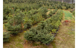 Prodej živých vánočních stromků v květináčích Střítež nad Bečvou