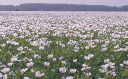 Prodej, zpracování a pěstování českého modrého máku