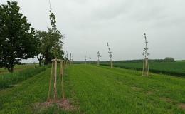 výsadba nových stromů Kroměříž