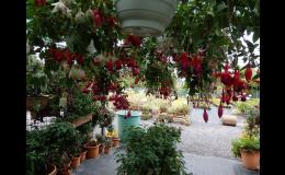 Zahradnictví Petro Mělník Fuchsie, chryzantémy, bylinky