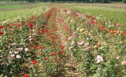 Široký sortiment růží v okolí Brna