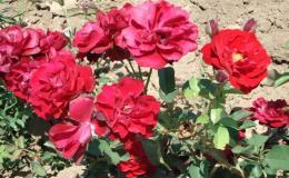 Velký výběr růží a dalších květin v Želešicích u Brna