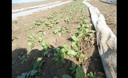 Pěstování zeleniny na polích Kupařovice