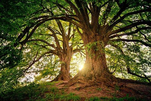 Oceňování stromů podle stáří, zdravotního stavu, významu