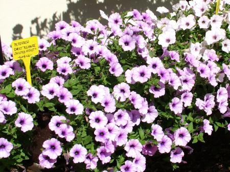 Nabídka balkonových rostlin, petúnie, surfinie, muškáty