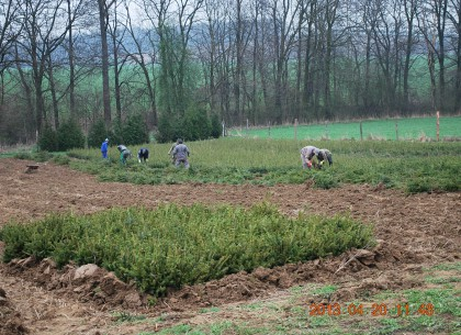 Sklizeň stromků, lesní listnaté a jehličnaté dřeviny
