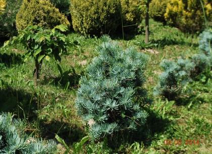 Výsadba lesních dřevin - jedlí, borovic, smrků