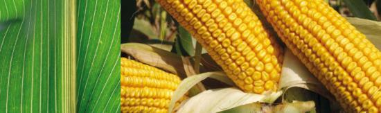 Kukuřičné odrůdy nabízí společnosti VP AGRO, spol. s r.o.