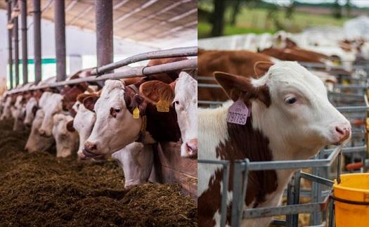 Chov skotu pro produkci mléka a masa Ludmírov