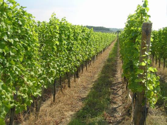 Ekologicky pěstováná vinná réva, ručně trhané biohrozny - Vinařství Barabáš