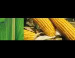 Zemědělské komodity, odrůdy řepky pro každého pěstitele, pěstování kukuřice pro krmné účely