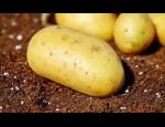 Prodej a rozvoz kvalitních sadbových brambor po celé České republice