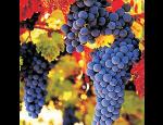 Červená vína s jemnou tříslovinou, ovocnou chutí, vína kořenitá i sametová